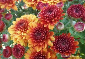 Chrysanthemum-Autumn-Glow-Bronze-wm